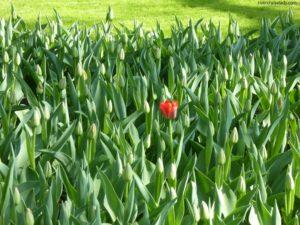 Tulip Time !