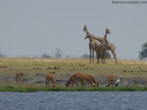 Chobe River Impalas And Giraffes