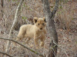 Kruger Baby Lion