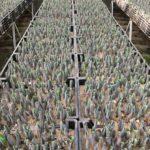 Tulip Farm Bulbs Planted