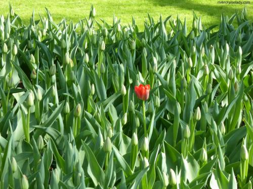 Tulip Time stand out!